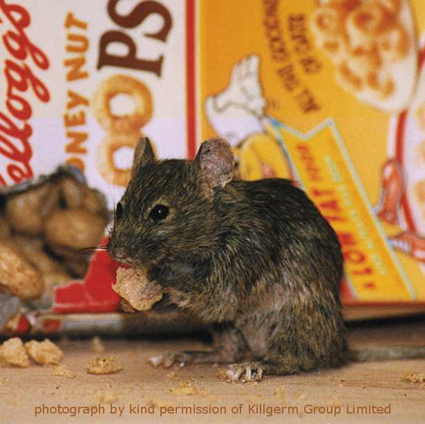 mouse damage to stored food
