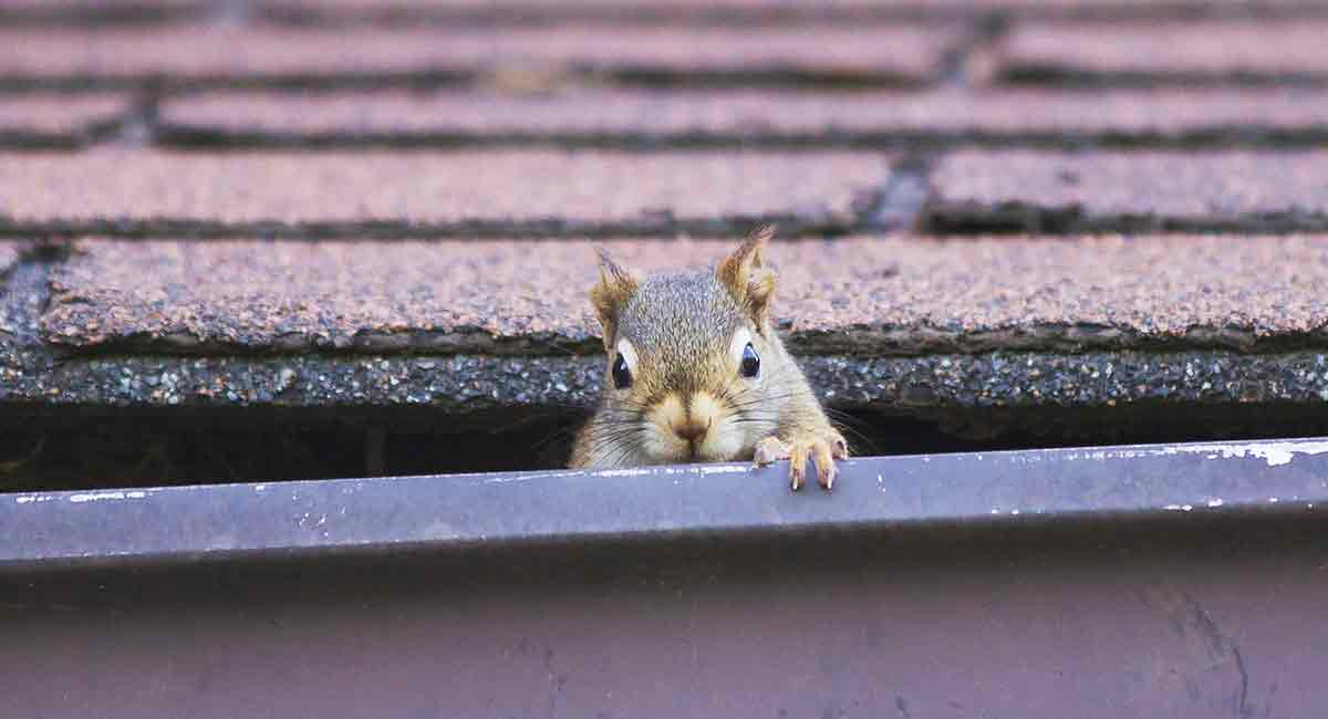 Squirrels In The Attic Country Services Pest Control Ltd