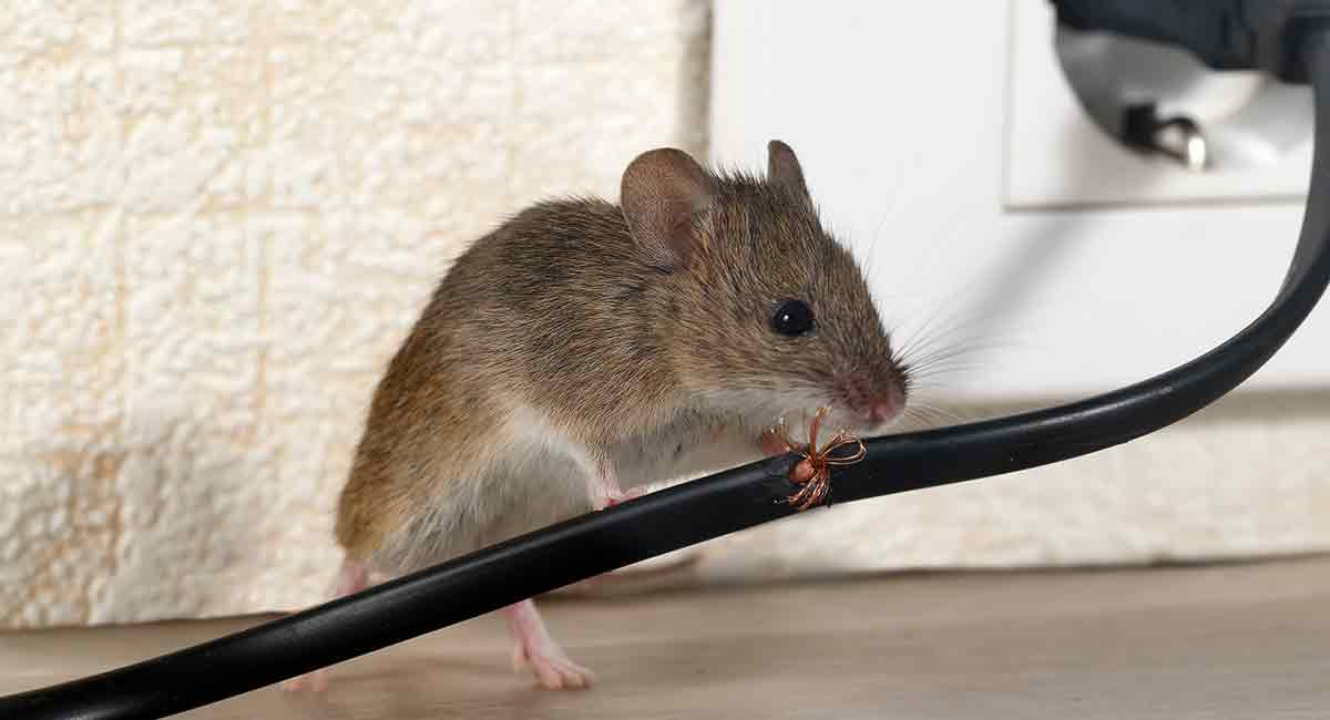Pest of the Week: Mice - Country Services Pest Control Ltd