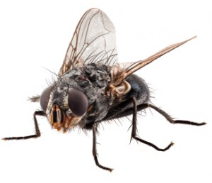 flies in Surrey homes