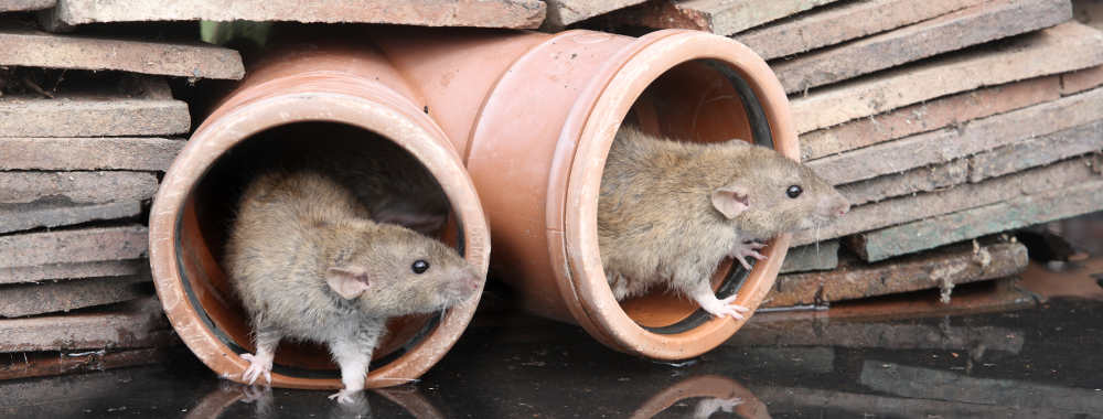 In This Article We Discuss A Common Cause Of Rats In The Garden.